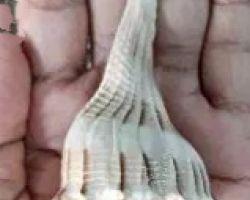 Dakshinavarti shankh brown line small size dakshinavarti conch 1.5 inches