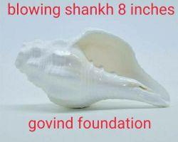 Blowing shankh vamavarti shankh big size blowing conch 8 inches