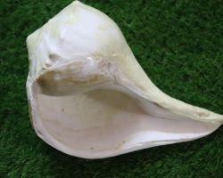 Dakshinavarti shankh. big size = 28 cm.